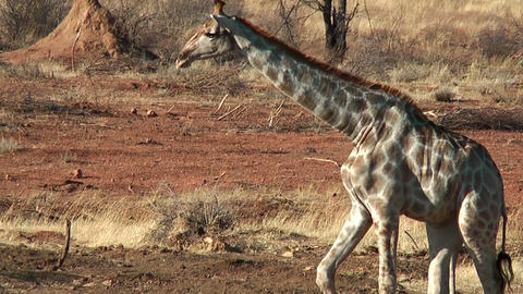 Elegant walk of Giraffe Footage