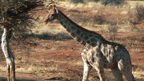 Elegant walk of Giraffe Stock Video Footage