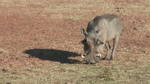 warthog feeding on the ground Stock Video Footage