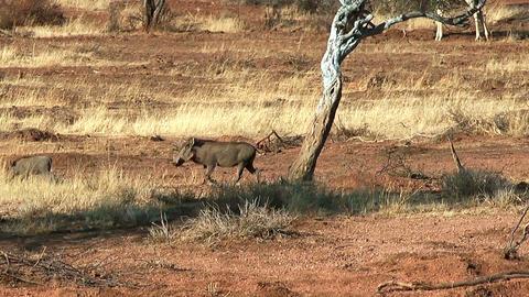 warthog runnig trough the bush Stock Video Footage