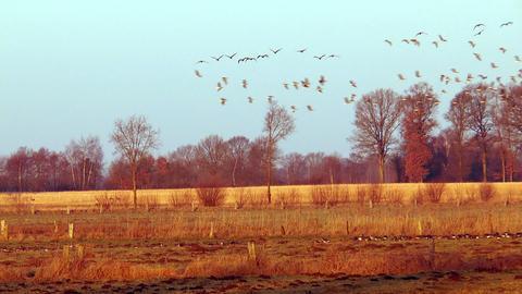 wild geese elegant flight Stock Video Footage