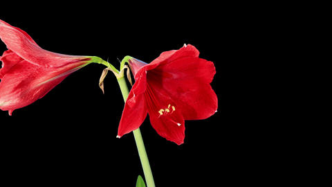 Growth of red hippeastrum flower Stock Video Footage