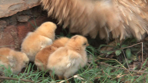 baby chicken walking around mother looking for foo Stock Video Footage