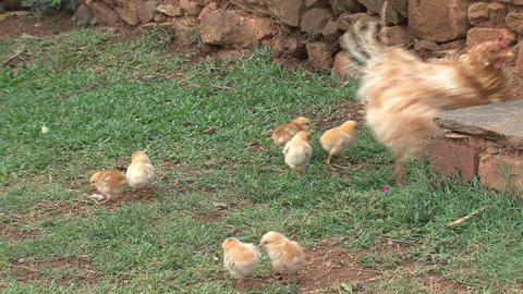 Baby chicken walking around mother Footage