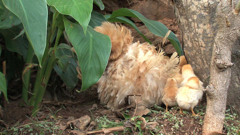 Baby chicken under and around mothers wings Stock Video Footage