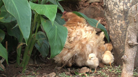 Baby chicken under and around mothers wings Footage