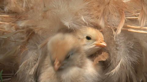 Close up Little chicken under and around mothers w Footage
