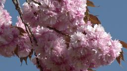 八重桜 Footage