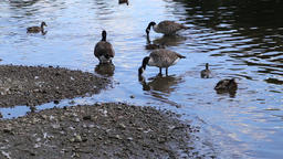 Candian geese and ducks on River Thames Twickenham UK Footage