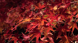 Fall foliage autumun colored leaves in the night ライブ動画