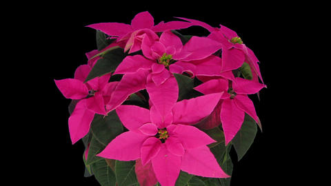 Time-lapse of growing poinsettia Christmas flower in RGB + ALPHA matte format GIF