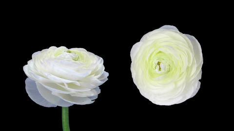 Time-lapse of opening and closing ranunculus flowers in RGB + ALPHA matte format Footage