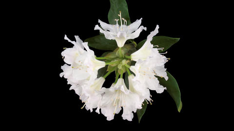 Time-lapse of dying rhododendron flower with ALPHA channel, top Footage