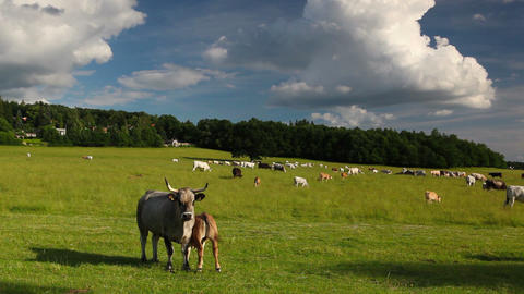 The herd cows on a summer pasture Footage