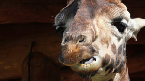 Detail of chewing giraffe Footage