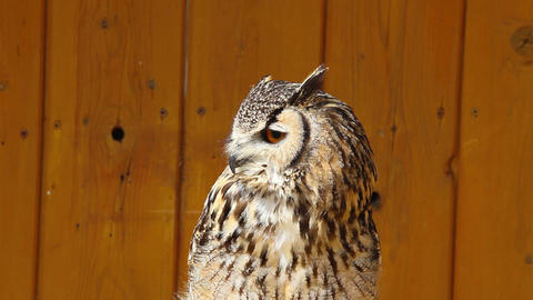 Portrait of a spotted eagle owl Live Action
