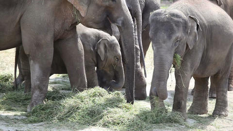 Large herd of Asian Elephants eating grass Footage