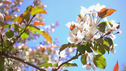 Apple Tree Flowers Archivo