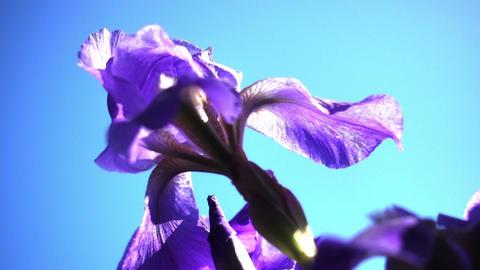 Close Up Of Purple Iris Flowers Footage