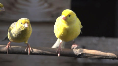 Canary flying towards camera Stock Video Footage