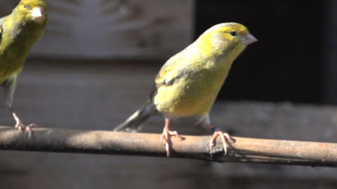 Canary flying towards camera Footage