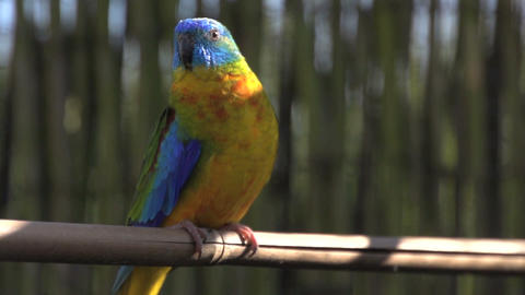 Colorful turquoise Parakeet looking around Footage