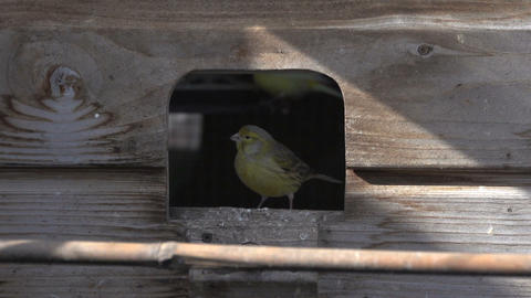 Canary going inside cage Footage