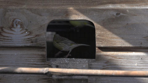 Canary going inside cage Stock Video Footage