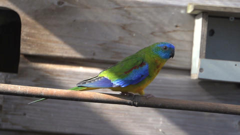 Canary Afrain For Colorful Turquoise Parakeet And Flies Away stock footage