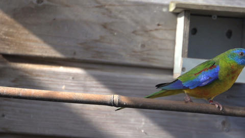 Canary afrain for colorful turquoise Parakeet and flies away Stock Video Footage