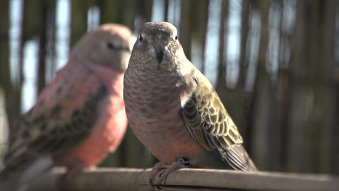 Two Pink bourke parakeet Footage