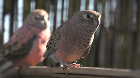 Two Pink bourke parakeet Stock Video Footage