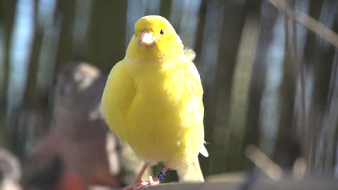 Yellow Canary shaking his feathers Footage