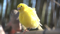 Yellow Canary shaking his feathers Stock Video Footage