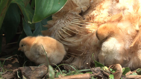 Close up Little chicken under and around mothers w Stock Video Footage