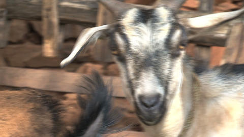 White and black goat walking away Stock Video Footage