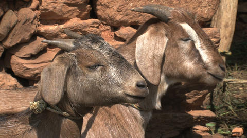 Two goats chewing, eating Stock Video Footage