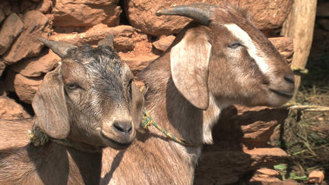 Two goats chewing, eating Footage