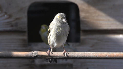 Gray brown canary Stock Video Footage