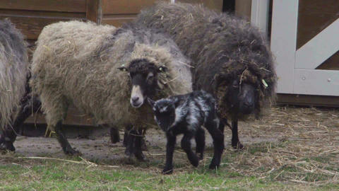 Baby skudde sheep jumping beeing the first time outside Stock Video Footage