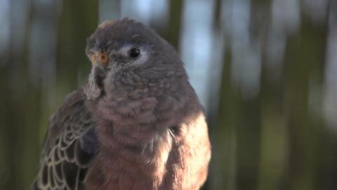 Close up Pink bourke parakeet Stock Video Footage