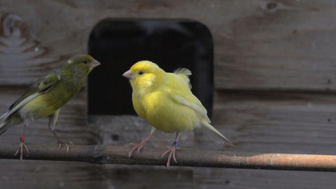 Yellow canary afraid and flies away Footage
