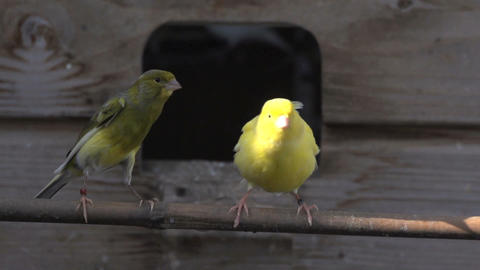 Yellow canary afraid and flies away Stock Video Footage