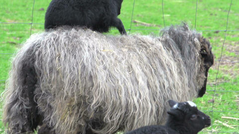 Baby skudde sheep on mothers back Stock Video Footage