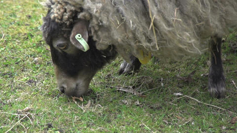 Close up from a skudde sheep eating grass Stock Video Footage