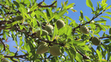 Almond Tree stock footage