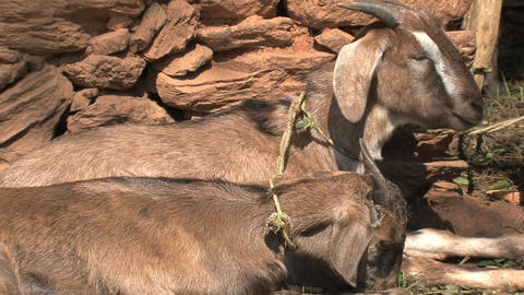 Two goats chewing Stock Video Footage