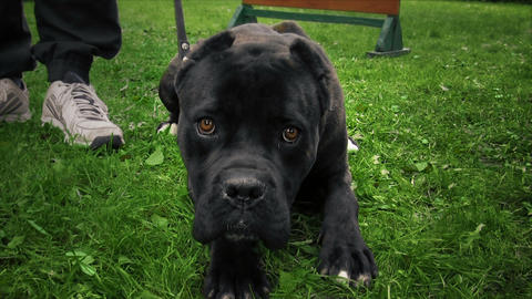 Cane Corso Stock Video Footage