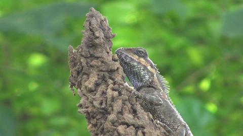 Lizard Eating Bug Stock Video Footage