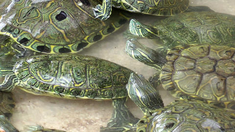 Turtles in Pool Footage